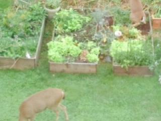 Deers in my garden